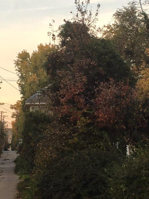 Trees in an alleyway on Maple street.
