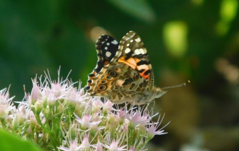 Monarchs Making Their Way Down South