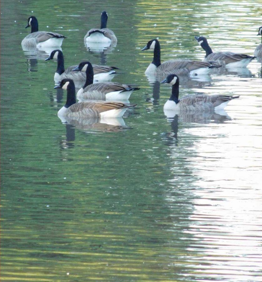 Ducks at Lakeside Park
